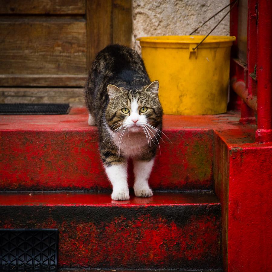 Orosházi cica